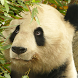 live wallpaper panda by cool backgrounds moving llc