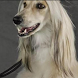 Afghan Hound Wallpapers by kolobova