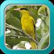 Masteran Burung Kepodang by Afnan Dev