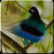 Kicau Burung Cenderawasih by ABK Games