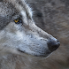 Timber Wolf Sounds & Timber Wolf Calls by GuideHunting L.L.C.