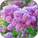 HD Lilac Flower Live Wallpaper by Forever WallPapers