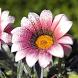 Daisy Flower HD Wallpaper by wallpaperhd