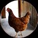 Chicken Sounds by BirdDev