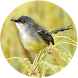 Suara Burung Ciblek Offline