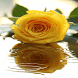 Yellow Rose Shine LWP by Daksh Apps