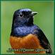 Master Birdsong by RantikaAulia