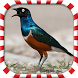 Master Kicau Burung Jalak Full by Jono Pro Studio