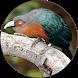 Cuckoo Bird Sounds by birdDev