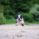 Boston Terrier Dogs Wallpapers by altothem