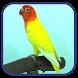 MASTER KICAU LOVEBIRD NGEKEK by Quenzino