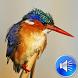 Kingfisher Bird Sounds by msd developer multimedia