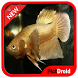 Betta Fish Wallpaper by pictdroid