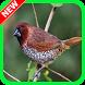 Kicau Burung Pipit Ngekek by Suto App