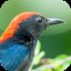Kicau Burung Cabai by KicauApp