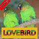 Tips Perawatan Burung Lovebird by Onyx Gemstone