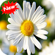 Daisy by Seaweedsoft