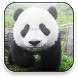 Panda Free Video Wallpaper by Motiap