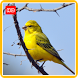 Canary Wallpaper HD Phone by AnimalWallpaper