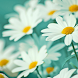 Beautiful Flower Wallpapers HD by AlphaRay Apps