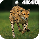 4K Cheetah Sprint Video Live Wallpaper by 4K4U