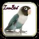 Kicau Lovebird Jawara