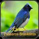 Chilrear Pássaros Brasileiros