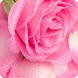 Pink Rose Theme For Applock by Unique Theme