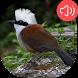 Laughingthrush bird Sounds by RinradaDev