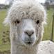 Llama or Duck?? by Digitalsquid