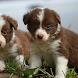 Border Collie Dogs Wallpapers by altothem