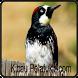 Kicau Burung Pelatuk Acom