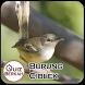 Kicau Masteran Ciblek Burung by QuizBerkah