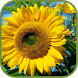 Hot Sunflower Wallpapers by duchung