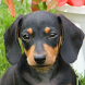 dachshund wallpaper by best wallpaper inc