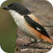 Kicau Burung Cendet by KicauApp