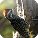 Suara Burung Pelatuk by Mhmapp Studio