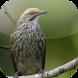 Suara Burung Cucak Rowo by Mhmapp Studio