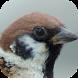 Kicau Burung Gereja by KicauApp