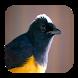 Kicau Burung Murai Batu by Silalahi App