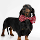 Dachshund Dogs Wallpapers by altothem