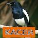Master Kicau Kacer by Onyx Gemstone