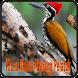 Kicau Master Burung Pelatuk by Jehova app