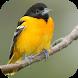 Oriole Bird Sounds