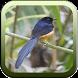 Master Burung Murai Batu by Silalahi App