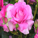 Rose wallpaper HD by Emprovantion Techsol
