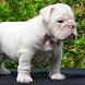 American Bulldog Images Jigsaw by demu0rg