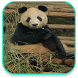 Panda Live Wallpaper by Tyron