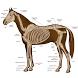 Horse Anatomy Diagrams : Equine Anatomy