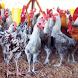 Budidaya Ayam Joper